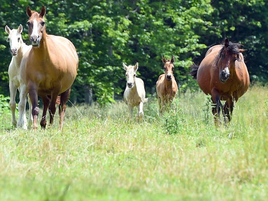 Twin foals Gypsy Gold and Bonas Partner, aka. Gypsy and Bitty, walk through a pasture with mother and other horses at Big Valley Ranch in Monterey, Va., on Wednesday, June 21, 2017. Born May 4, the twins mark the second set of twin foals born at the farm within the last three years.