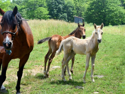 Second set twin foals born at Highland County farm
