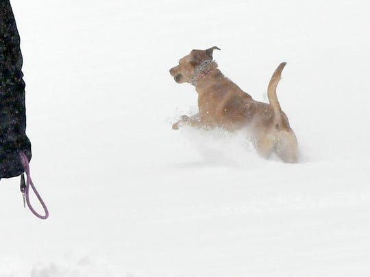 A dog is allowed to frolic in the snow briefly off