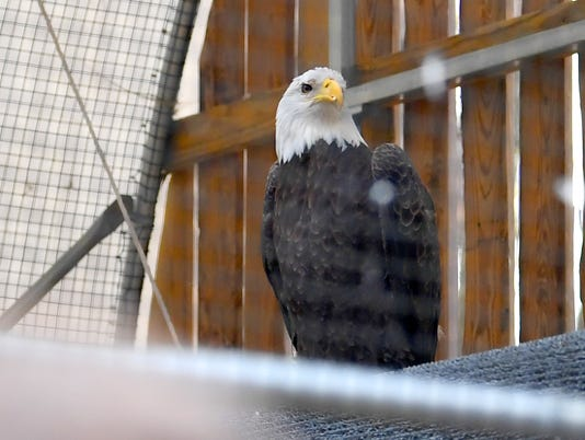 Buddy the Eagle celebrates 10th hatch day