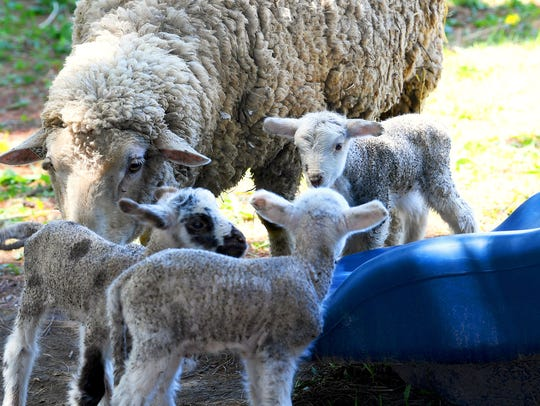 Three of five lamb siblings gather around their mother
