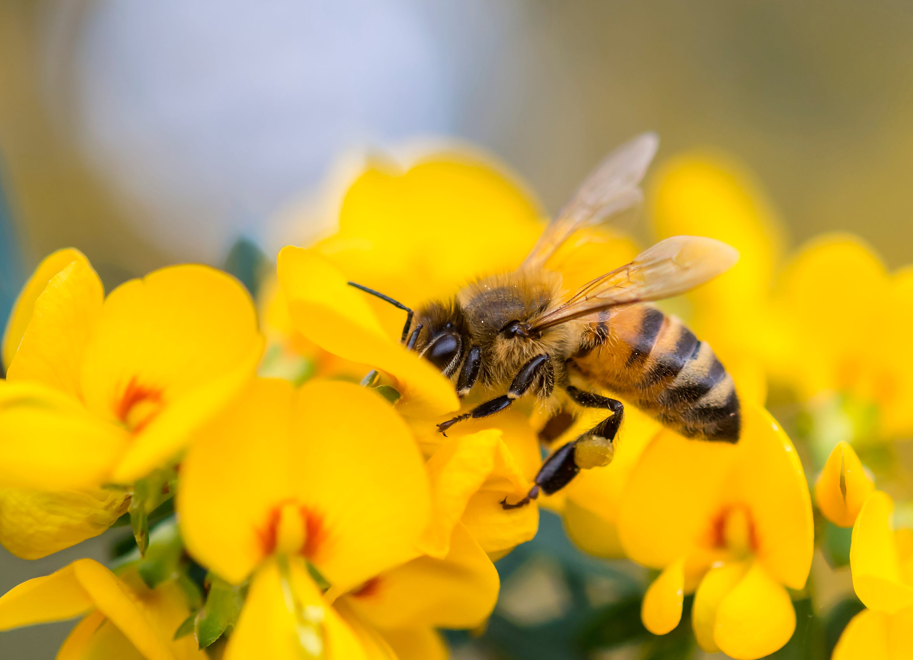 Discussion on this topic: How to Help Save Honey Bees, how-to-help-save-honey-bees/