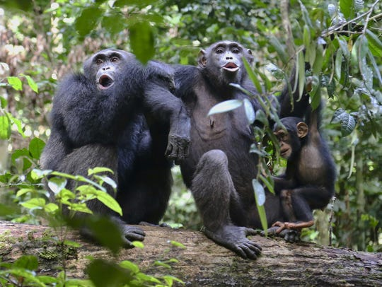 Chimpanzees in the Taï National Park in the Ivory Coast