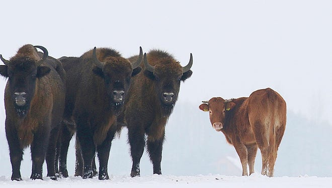 In this Jan. 20, 2018 photo, a cow stands near to a group of bison, near Wasilkowo village, 10 km from Hajnowka, Poland. A farmyard cow in Poland has chosen freedom this winter, roaming with a bison herd for three months after escaping its pen. The cow has been spotted following the bison across meadows bordering a forest in eastern Poland as they forage for food.