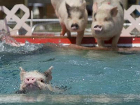 Pigs swim through water tack during races at Robinson