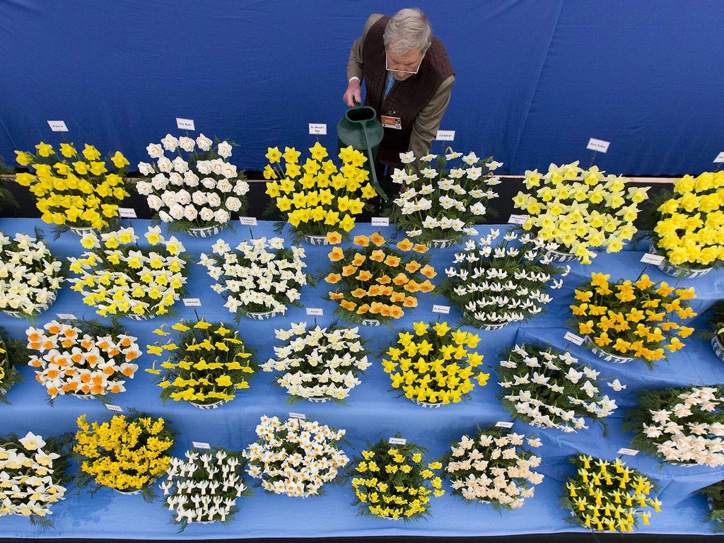 Johnny Walker waters his daffodils at the 2015 Chelsea Flower Show on May 18 at the Great Pavilion in London. The show runs from May 19 to 23.