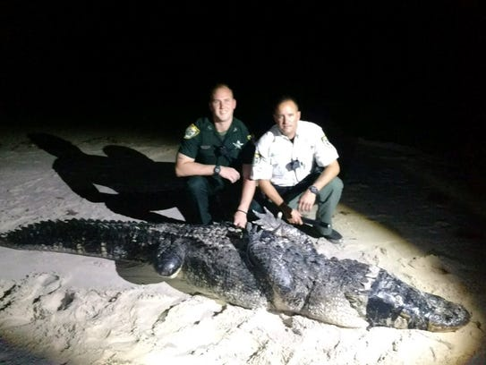 A 12-foot alligator was captured Oct. 22, 2017, on the beach in Indian River County.