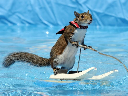 twiggy waterskiing squirrel