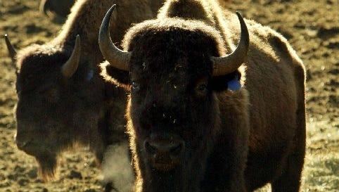 A herd of buffalo.