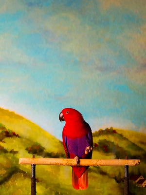 """KINFAY MOROTI/THE NEWS-PRESS… """"She is inquisitive and a unique companion,"""" says Deborah Miller of Jasmime, her 2-year-old New Guinea Eclectus parrot."""