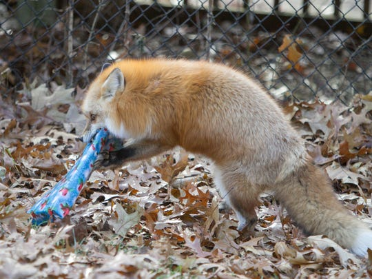 Vixen, a female red fox at the Howell Nature Center, opens a wrapped Christmas package containing a food snack Tuesday, Dec. 5, 2017 as part of an enrichment program the center provides for its animal residents.