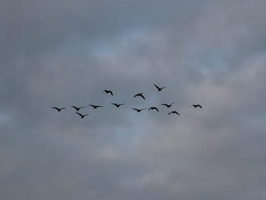 "Canada geese fly in a flock over Mequon. The birds are grouping in preparation for a ""molt migration."""