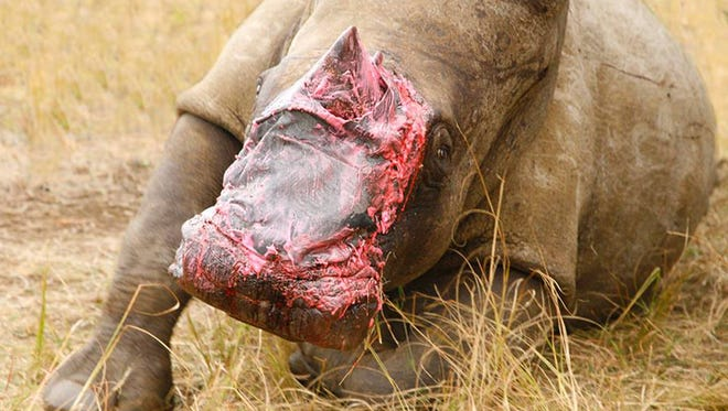 A rhino recovers in an enclosure after being treated at the Pongola Game Reserve in South Africa. Veterinarians have treated the injured rhino, whose face was mutilated by poachers, by fitting it with a bandage made of elephant hide.