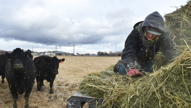 Student employee Mallory Goodrick feeds livestock after they were returned to the University of Nevada, Reno Farm following the flooding of the Truckee River this past weekend on Jan. 10, 2017.