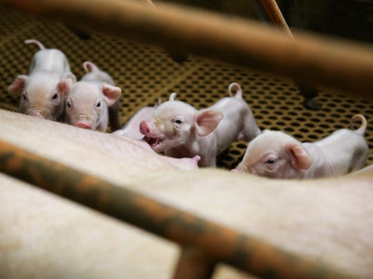 Piglets feed in the farrowing crates at Dale Wilde's family farm in Wall.