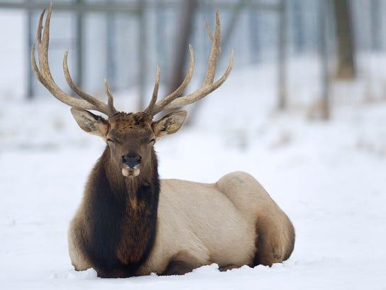 MNH Elk in Wisconsin 01.JPG