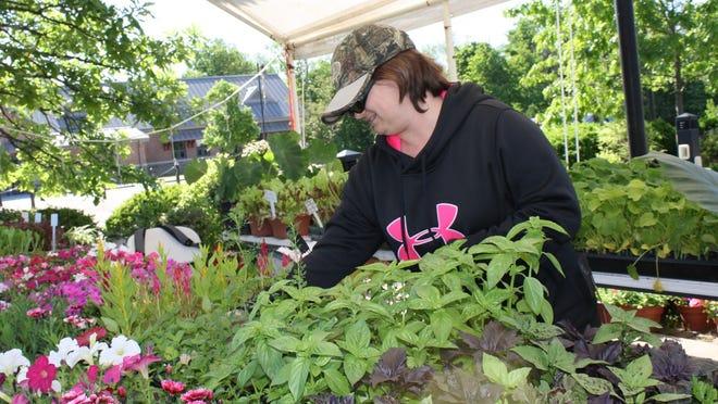 Bridget Bays arranges plants for sale from Fryman Farms, of Burlington, at the Boone County Farmers Market.