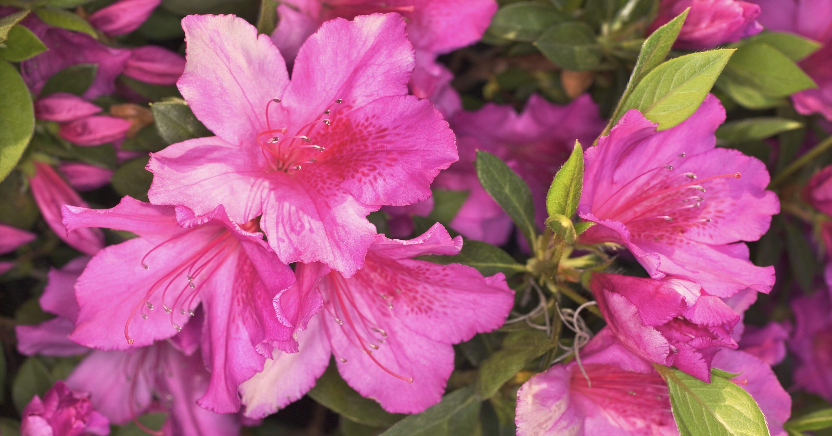 Late Spring Flowering Azaleas At Their Peak