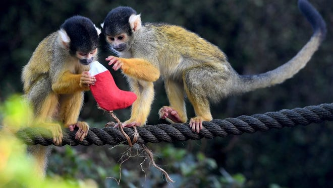 One of the animals stolen was a squirrel monkey. Pictured here are squirrel monkeys receiving Christmas treats during a photocall at the London Zoo in London, Britain, 14 December 2017