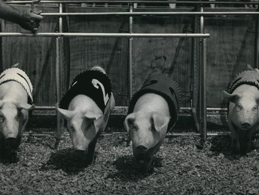 1986 Press Photo Racing Pigs Have Become A Crowd Pleaser At Wisconsin State Fair