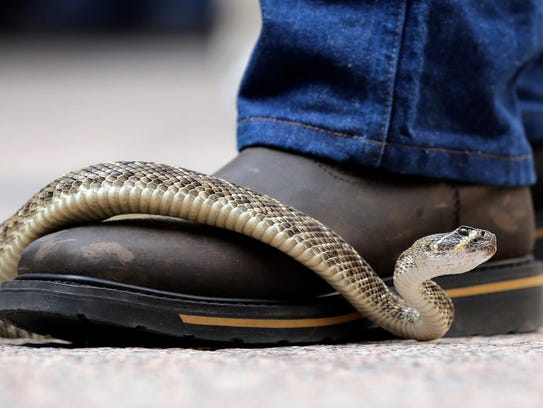 A rattlesnake moves across the top of a handler's boot