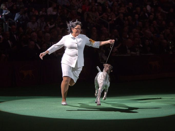 CJ, a German shorthaired pointer, is shown in the ring