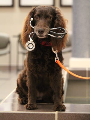 TMH Animal Therapy dog and Boykin Spaniel, Bogey sits patiently while waiting to greet patients and their families.
