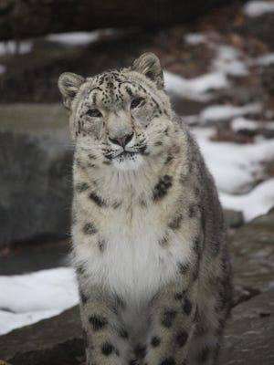 Tushar the snow leopard will be among the animals greeting visitors to the Binghamton Zoo when it opens for the season on April 22.