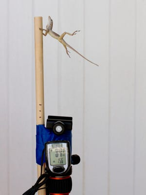 In this Oct. 19, 2017 photo provided by Colin Donihue, an anoles lizard hangs onto a pole during a simulated wind experiment in the Turks and Caicos Islands. According to a study in the Wednesday, July 25, 2018 edition of the journal Nature, lizards who survived 2017's Hurricanes Irma and Maria had 6 to 9 percent bigger toe pads, significantly longer front limbs and smaller back limbs, compared with the population before the storms.