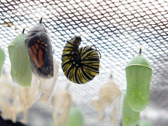 Monarch butterfly are seen in various stages at Back to the Wild in Castalia on Thursday, Sept 11, 2014. Center, a monarch caterpillar is preparing to become a Chrysalis like the one on the right. Left, a monarch butterfly is ready to emerge from a chrysalis.