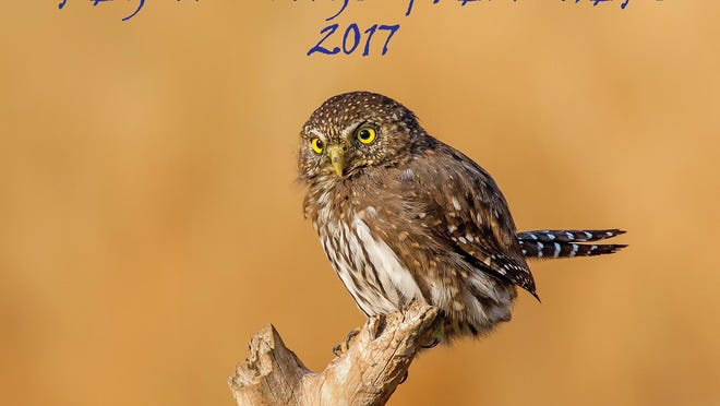 """A northern pygmy owl is featured on the cover of Douglas Beall's """"Oregon Wings and Feathers"""" calendar. The owl is hard to spot, even though it hunts during the day."""