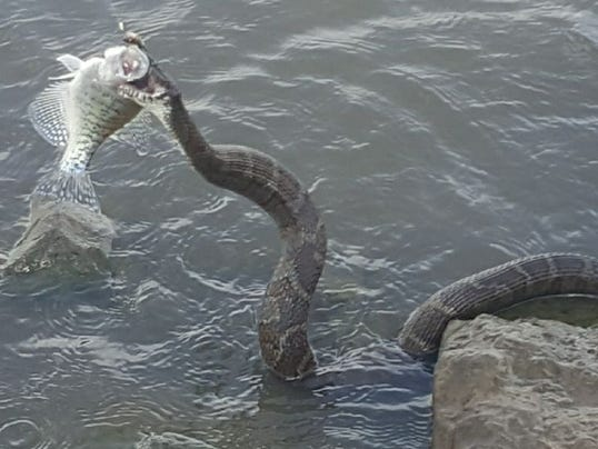 39 huge 39 snake steals eats fish caught by iowa fisherman for Fishing in boone nc