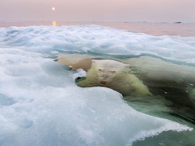"National Geographic has announced the winners of its 2013 Photo Contest (see more at http://bit.ly/1kmKCYE or www.ngphotocontest.com), and once again the honored images are stunning. This is the Grand Prize and Nature Winner, submitted by Paul Souders, who provided this caption: ""A polar bear peers up from beneath the melting sea ice on Hudson Bay as the setting midnight sun glows red from the smoke of distant fires during a record-breaking spell of hot weather. The Manitoba population of polar bears, the southernmost in the world, is particularly threatened by a warming climate and reduced sea ice."""