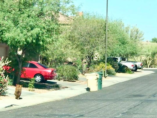 A bear was spotted in an Anthem neighborhood on May