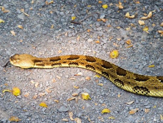 Timber-Rattlesnake.-Photo-by-John-Mizel.jpg