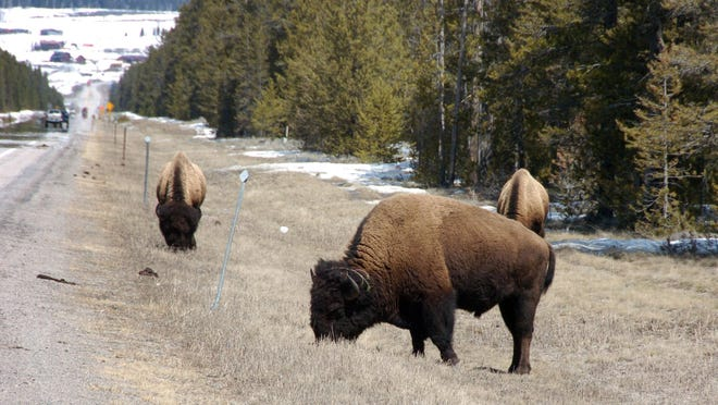 Bison graze along a state highway near West Yellowstone. The National Park Service says it found some of the 52 bison that escaped from holding pens in Yellowstone National Park.