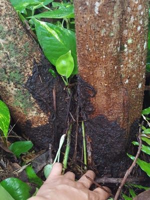 Avocado tree at a Yona residence covered with Brown Root Rot.