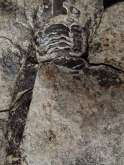 Ryleigh Taylor, 11, found a trilobite fossil in Dandrige,