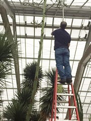Agave stalk removed on Wednesday, April 8, 2015, at University of Michigan's Matthaei Botanical Gardens in Ann Arbor.