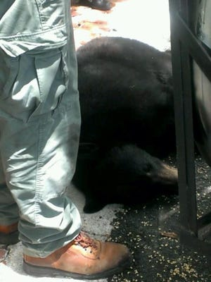 Black bear tranquilized off Peck Avenue in Fort Myers.