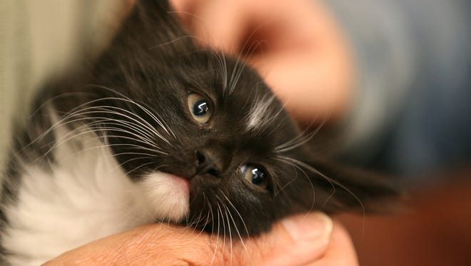 A kitten at Lollypop Farm is the center of attention.