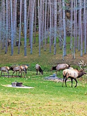 Elk grazing in the Pennsylvania Wilds.
