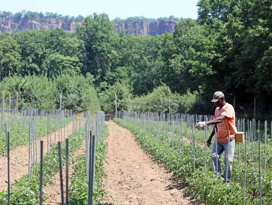 Milton Vassel works on the tomato field at Dr. Davies