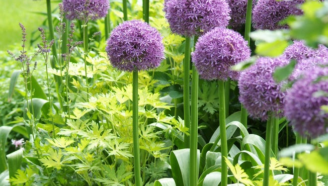 Begin thinking about your order for spring-blooming bulbs that should be planted in fall. The best ones go quickly at the mail-order companies. These are Globemaster alliums.
