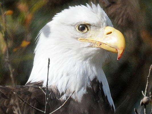 1230HAT_Eagle02.jpg