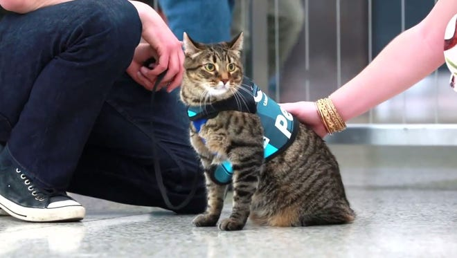 Xeli is Denver International Airport's new therapy cat.