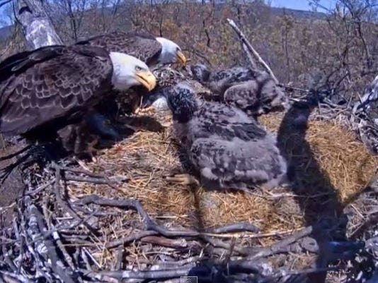The bald eagles in Hanover have captivated audiences. Take a look at the video for a recap of their time in the nest. (PA Game Commission)