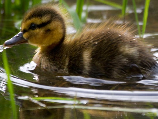 The results of all that effort are cute little duck chicks.