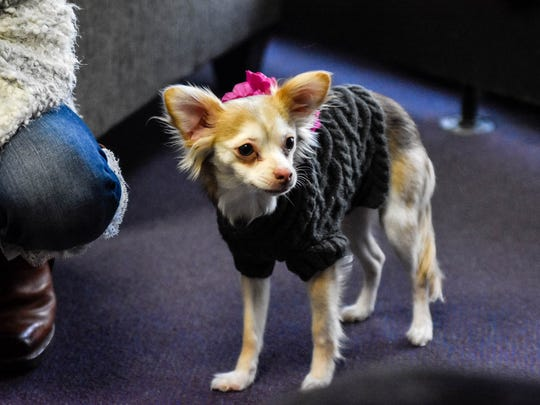 """Luciana, a rescued long-haired Chihuahua, waits to go live for KCWI's """"CW Iowa Live"""" on Wednesday, Feb. 1, 2017, in West Des Moines."""