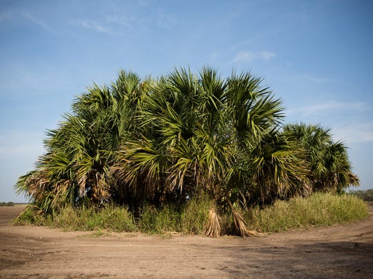 The Nature Conservancy's Southmost Preserve in far South Texas is home to some of the last remaining stands of sabal palm forest in the country. The lush, subtropical ecosystem — prime habitat for endangered wild cats like the ocelot and jaguarundi — once flourished in the region but has been almost totally cleared for agriculture or urban development.